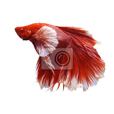 thai peces luchadores rojo y blanco aislado en blanco