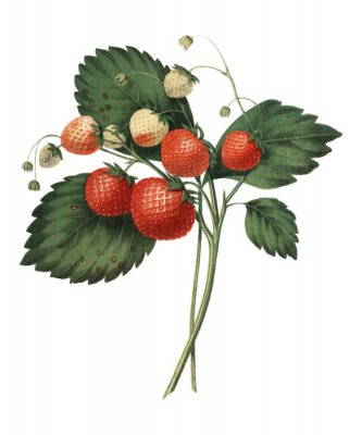 Póster The Boston Pine Strawberry (1852) by Charles Hovey, a vintage illustration of fresh strawberries. Digitally enhancedby rawpixel.