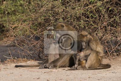 Tiempo de la familia del babuino