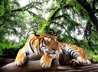 Póster Tiger busca algo en la roca en el bosque tropical de hoja perenne