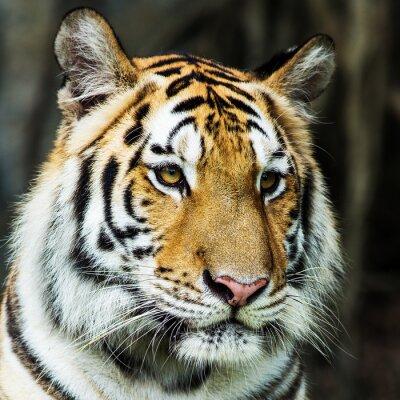 Póster Tigre