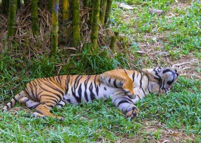 Póster Tigre asiático.