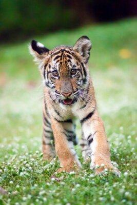 Póster Tigre bebé de Bengala está caminando a través de un prado.