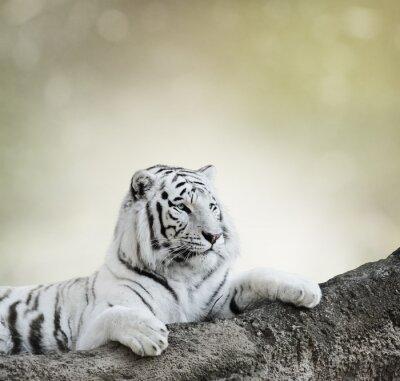 Póster Tigre Blanco