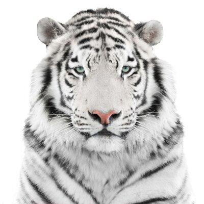 Póster Tigre blanco aislado