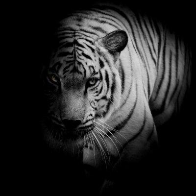 Póster Tigre blanco aislado en fondo negro