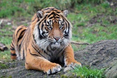Póster Tigre de Sumatra