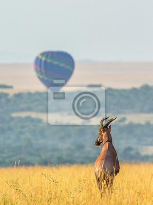 Topi antílope de pie en la sabana en el fondo de un globo volador. África. Kenia. Tanzania. Masai Mara. Serengeti.