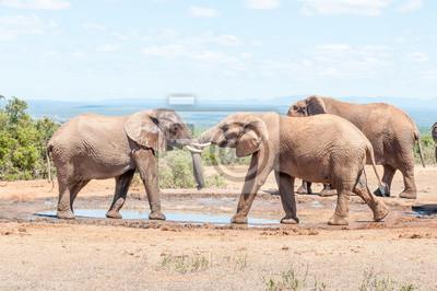 Toros de elefante en una prueba de fuerza