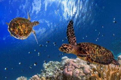 Póster Tortuga de mar de Maldivas flotante