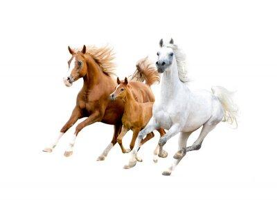 Póster Tres caballos árabes aislados en blanco
