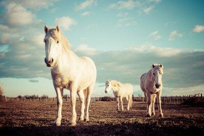 Póster Tres chevaux blancs camarguais vintage
