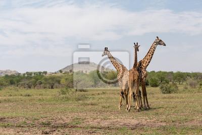 Tres de las jirafas en el Serengeti