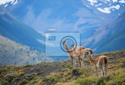 Tres guanacos en el parque nacional Torres del Paine