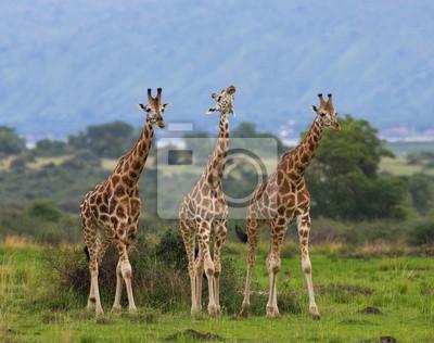 Tres jirafas en la sabana. Uganda.