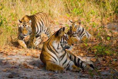 Póster Tres tigres salvajes en la selva. India. Bandhavgarh Parque Nacional. Madhya Pradesh. Una excelente ilustración.