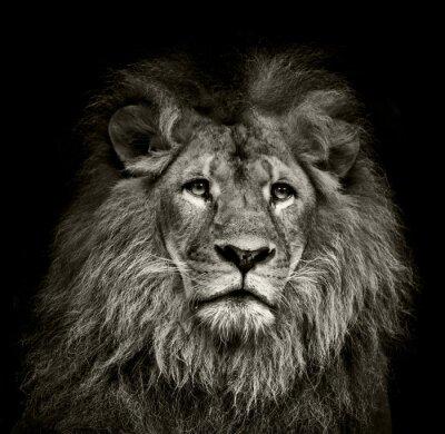 Póster triste león