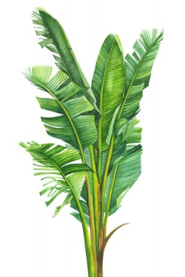 Póster tropical plants, banana palm on an isolated white background, watercolor illustration, hand drawing, botanical painting