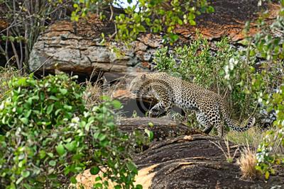 Tsavo leopardo