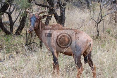 Tsessebe en Marakele NP, Sudáfrica