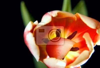 Tulipán en negro