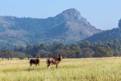 Two Blesbuck in Mlilwane wildlife sanctuary scenery , Swaziland ; specie Damaliscus pygargus phillipsi family of bovidae