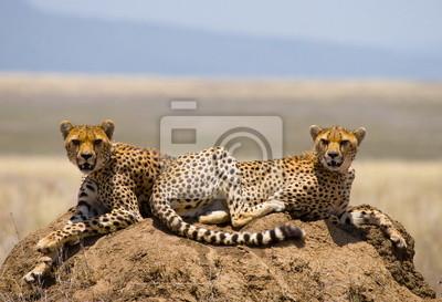 Two cheetah on a hill in the savannah.