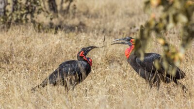 Two Southern Ground Hornbills playing in savannah in Kruger National park, South Africa ; Specie Bucorvus leadbeateri family of Bucerotidae