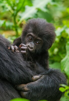 Uganda. Parque Nacional del Bosque Impenetrable de Bwindi. Una excelente ilustración.