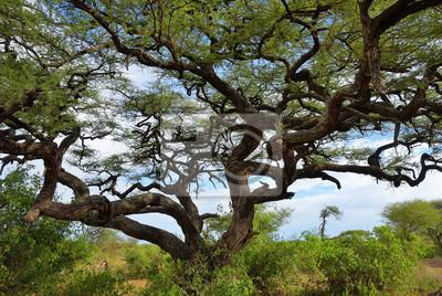 Umbrella acacia en Tanzania, África