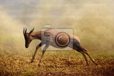 Un antílope Topi saltar, Masai Mara