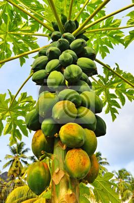 Un árbol de papaya