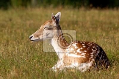 Un barbecho descanso Deer Hind en el Sol