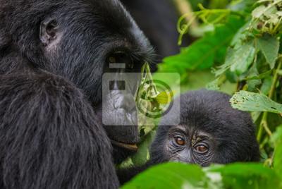 Un gorila de montaña femenino con un bebé. Uganda. Parque Nacional del Bosque Impenetrable de Bwindi. Una excelente ilustración.