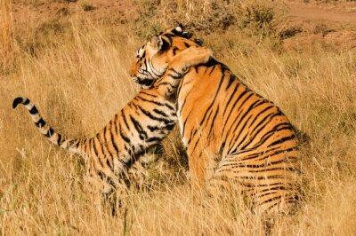 Póster Un momento cariñoso entre un tigre de Bengala y su cachorro