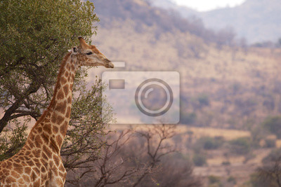 Un perfil de la jirafa