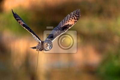Un vuelo del búho espigado largo