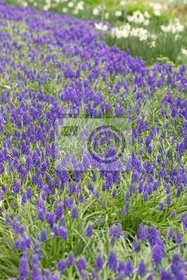 Una alfombra de jacintos de uva