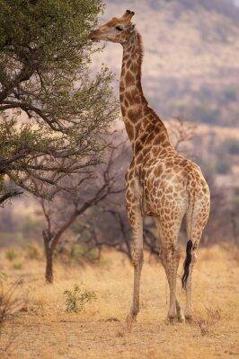 Una gran jirafa comiendo hojas de un árbol