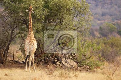 Una jirafa que come las hojas de un árbol