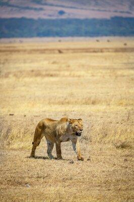 Una leona solitaria dentro del cráter del Ngorongoro en Tanzania, África