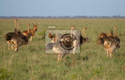 Una manada de avestruces africanas en la sabana verde