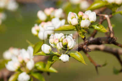Una rama en flor de manzano en primavera