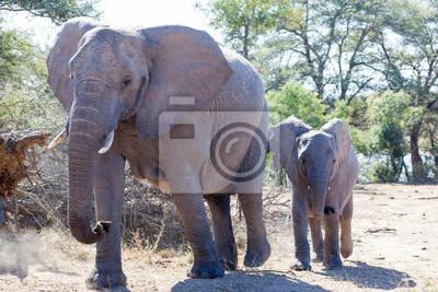 Vaca y becerro del elefante