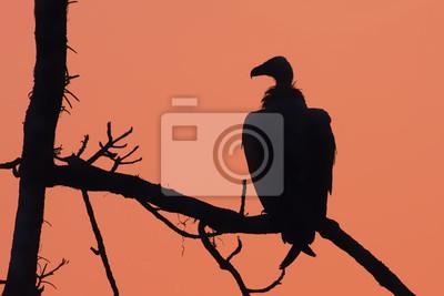 vautour au crépuscule