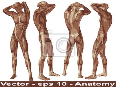 Vector conceptual anatomía cuerpo humano con los músculos carteles ...