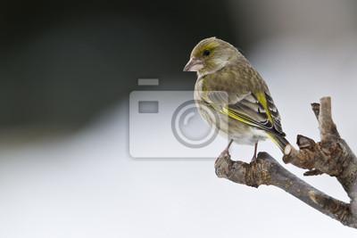 Verdier Oiseau d'Europe hembra en hiver