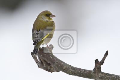 Verdier Oiseau d'Europe mâle en hiver
