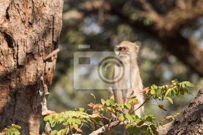 Vervet Monkey sentado arriba en el perfil del árbol
