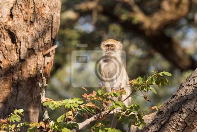 Vervet mono sentado arriba en contacto visual con los árboles